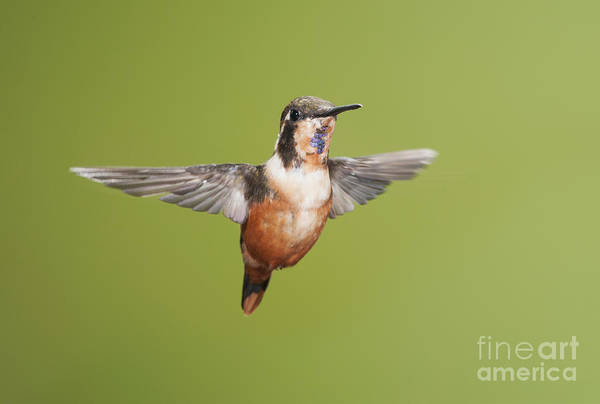 Photograph - Purple-throated Woodstar Hummingbird by Dan Suzio