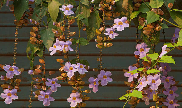 Photograph - Purple Trumpet Vine by Susan Rovira
