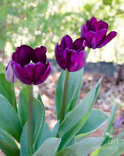 Photograph - Purple Tulip by Andrea Anderegg