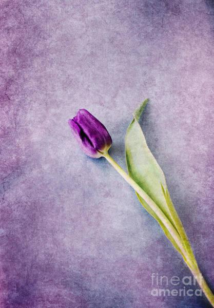 Photograph - Purple Tulip by David Lichtneker