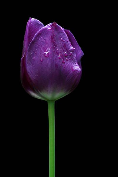 Photograph - Purple Tulip by Ivan Slosar