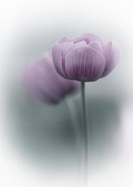 Tulip Flower Photograph - Purple Tulip by Purple Bamboo