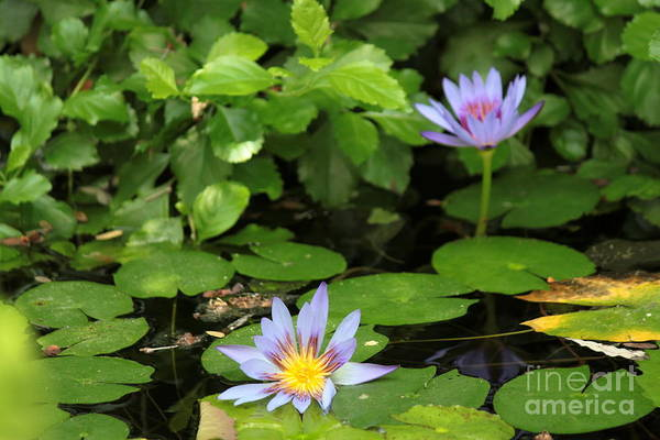 Wall Art - Photograph - Purple Water Lily 2 by Eric Irion