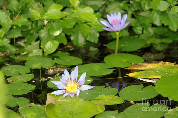 Wall Art - Photograph - Purple Water Lily by Eric Irion