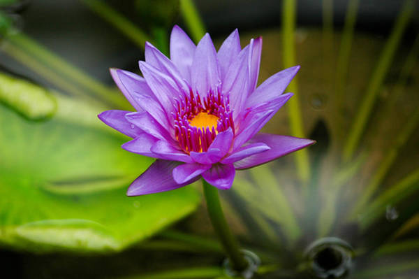 Photograph - Purple Water Lily. by Rob Huntley