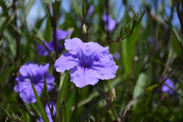 Photograph - Purple Wild Flower by Jody Lane