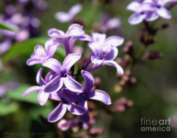Photograph - Purple Wild Flowers by Gena Weiser