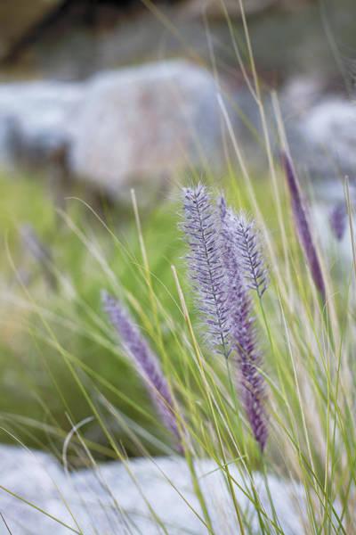 Pennisetum Photograph - Purple Wild Fountain Grass by Janice Sullivan