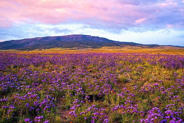 Photograph - Purple Wildflowers by Rick Wicker