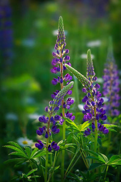 Photograph - Purples Lupines by Darylann Leonard Photography