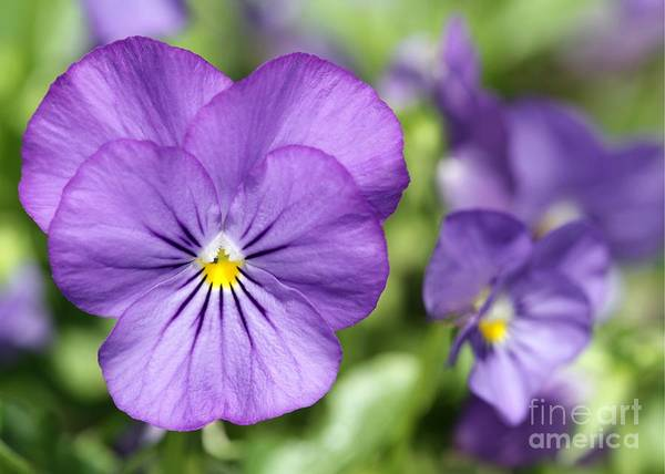 Photograph - Purplicious Pansies by Sabrina L Ryan