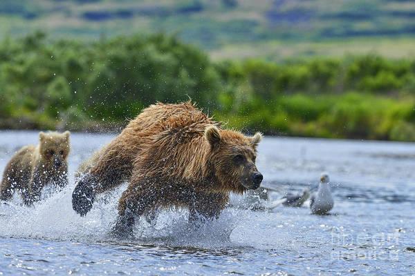 Photograph - Pursuit Of The Salmon by Dan Friend