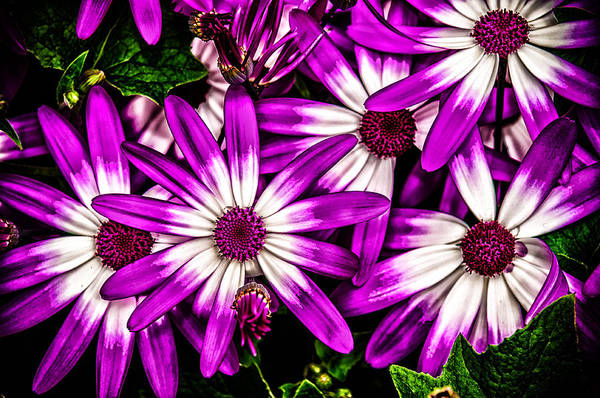 Photograph - Pushing Purple by Louis Dallara