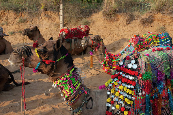 Dromedary Wall Art - Photograph - Pushkar, Rajasthan, India by Inger Hogstrom