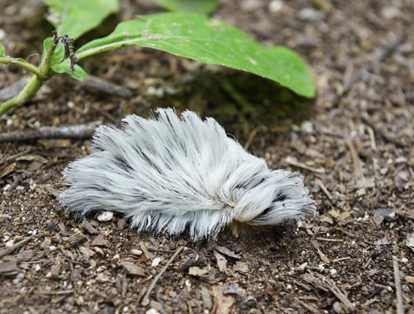 Asps Photograph - Puss Caterpillar by Martin Shields