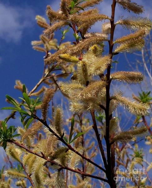 Photograph - Pussy Willow In Bloom by David Neace