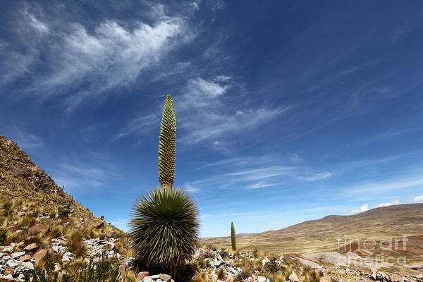 Bromelia Photograph - Puya Raimondii The Queen Of The Andes by James Brunker