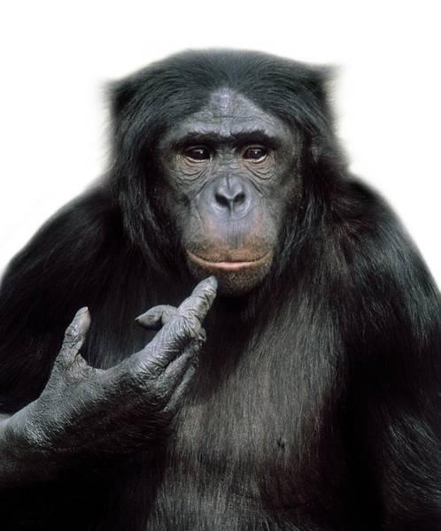 Bonobos Photograph - Pygmy Chimpanzee by Natural History Museum, London/science Photo Library