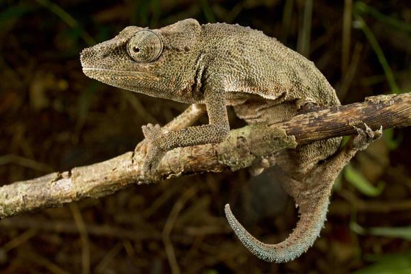 Photograph - Pygmy Mount Gorongosa Chameleon by Piotr Naskrecki
