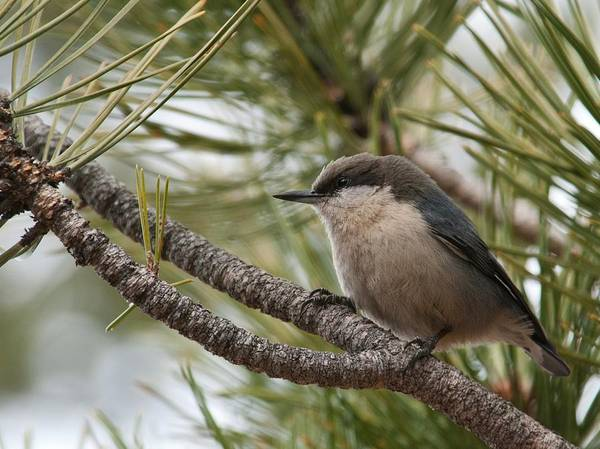 Photograph - Pygmy Nuthatch by Cascade Colors