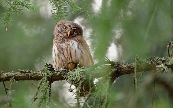 Branch Photograph - Pygmy Owl by Assaf Gavra