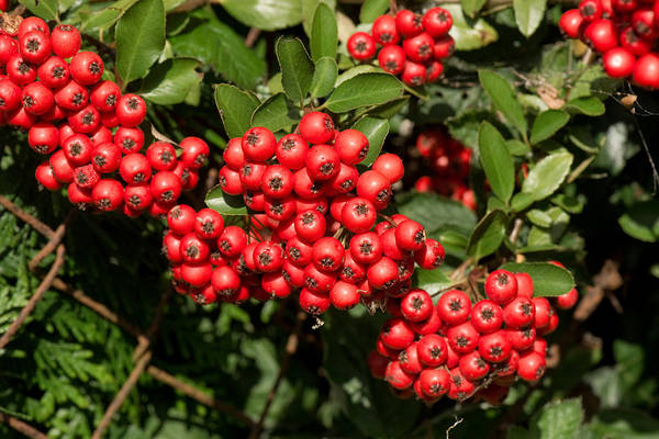 Wall Art - Photograph - Pyracantha Berries by Nigel Cattlin
