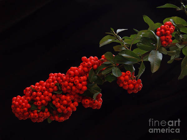 Wall Art - Photograph - Pyracantha Berries On Black - Pennsylvania by Anna Lisa Yoder