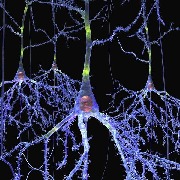 Cerebrum Photograph - Pyramidal Cells In The Brain by Russell Kightley