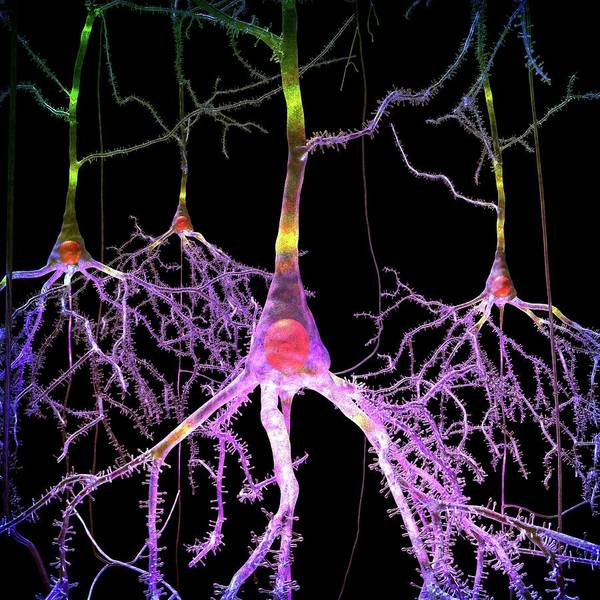 Dendrite Wall Art - Photograph - Pyramidal Nerve Cells by Russell Kightley