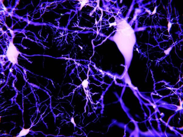 Wall Art - Photograph - Pyramidal Neurons, Illustration by Juan Gaertner