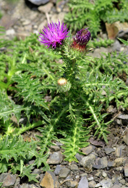Wall Art - Photograph - Pyrenean Alpine Thistle (carduus Medius) by Brian Gadsby/science Photo Library