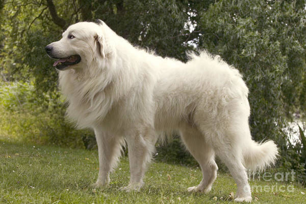 Great Pyrenees Photograph - Pyrenean Mountain Dog by Jean-Michel Labat