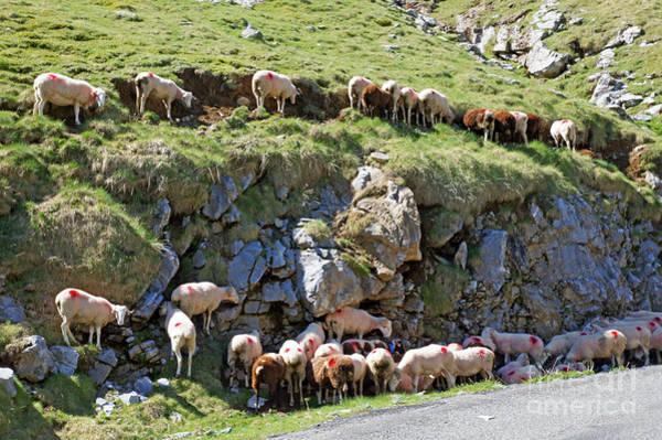 Pyrenean Sheep Art Print