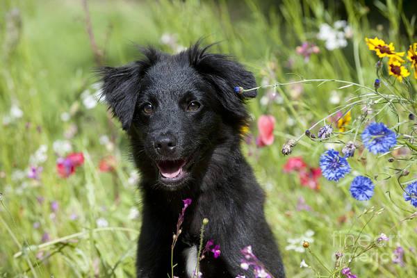 Perky Photograph - Pyrenean Sheepdog by John Daniels