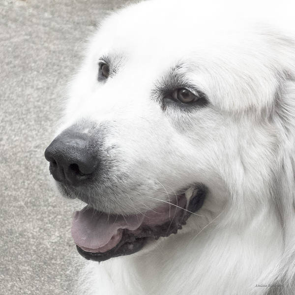 Great Pyrenees Photograph - Pyrenees In The Park by Melissa Bittinger