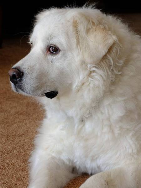 Great Pyrenees Photograph - Pyrenees Portrait by Scott Kingery
