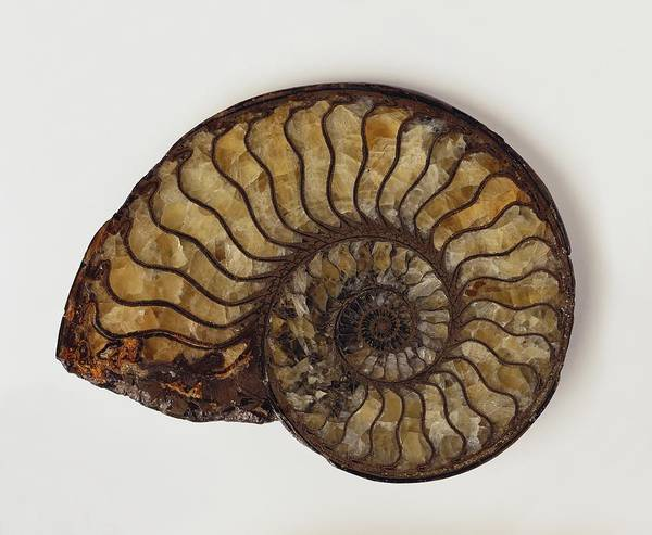Cretaceous Wall Art - Photograph - Pyritized Ammonite Shell Fossil by Dorling Kindersley/uig