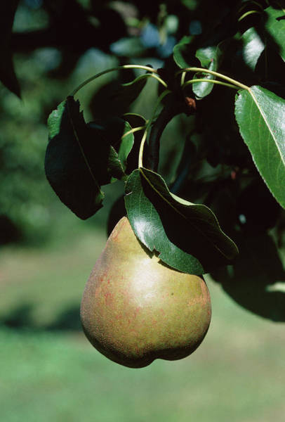 Wall Art - Photograph - Pyrus Communis Onward by Anthony Cooper/science Photo Library