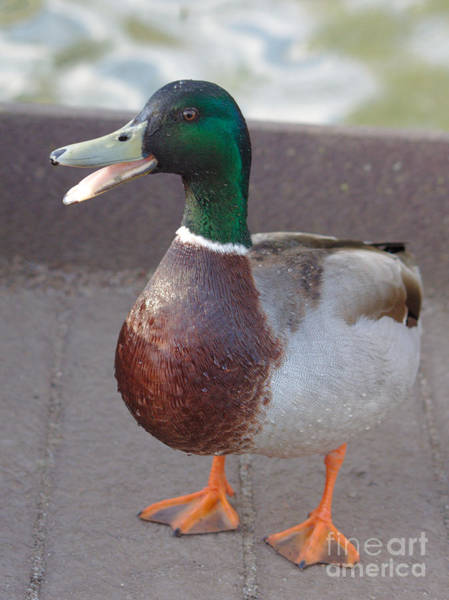 Photograph - Quack by Jeremy Hayden