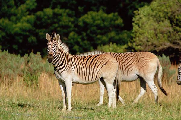 Wall Art - Photograph - Quagga-like Zebras by Tony Camacho/science Photo Library