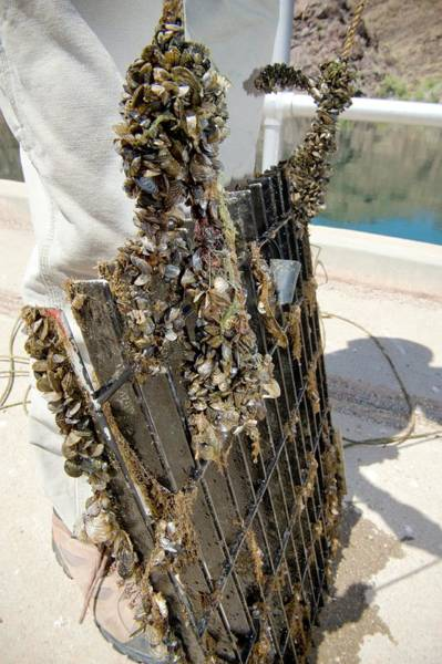 State Of Colorado Photograph - Quagga Mussels by Us Bureau Of Reclamation/andy Pernick