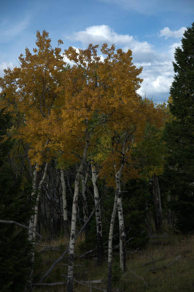 Quaking Aspen Art Print