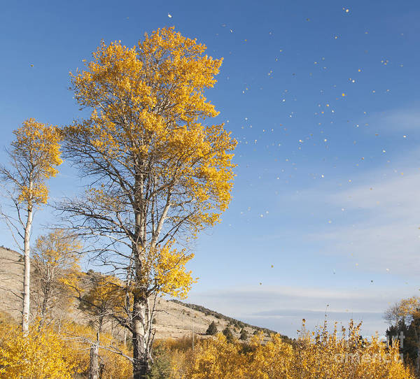 Photograph - Quaking Aspen In Wind by Dan Suzio