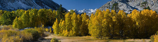 Sierra Nevada Mountain Range Photograph - Quaking Aspens Populus Tremuloides by Panoramic Images