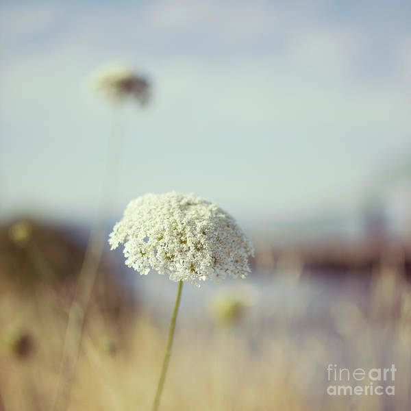 Photograph - Queen Anne's Lace - Hipster Photo Square by Charmian Vistaunet