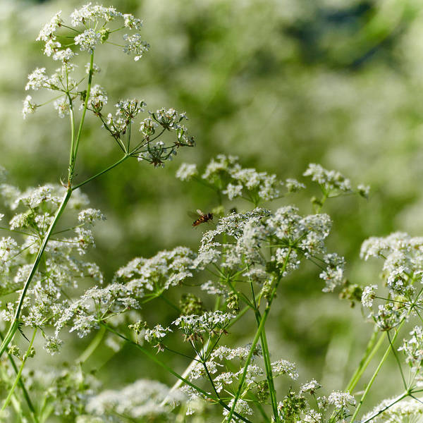 Wild Chervil Wall Art - Photograph - Queen Annes Lace And A Hover by Jouko Lehto