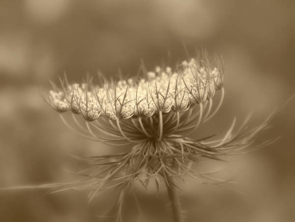 Photograph - Queen Anne's Lace by Kim Hojnacki
