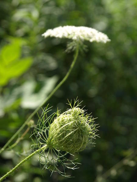 Wild Chervil Wall Art - Photograph - Queen Anne's Lace by James Peterson