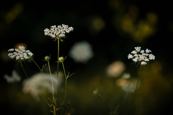 Photograph - Queen Anne's Lace by  Onyonet  Photo Studios