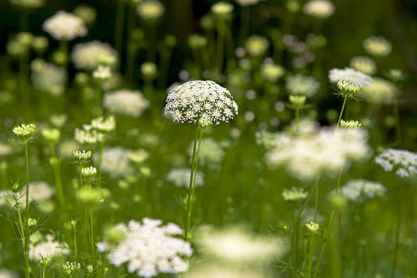 Photograph - Queen Anne's Lace by Robert Clifford